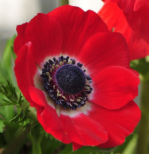 Anemone Flower ~ Blazing red with slight purple cone ~ Planted some this past weekend ~ Love this!!