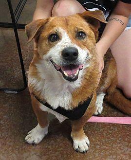 Scottsdale, AZ - Corgi/Border Collie Mix. Meet Charlie, a dog for adoption. http://www.adoptapet.com/pet/19202903-scottsdale-arizona-corgi-mix