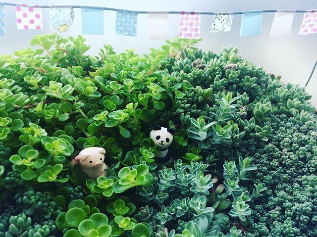 ・ ・ おっはよ〜ッ♡って言ってるみたいな. 癒し系 パンダ&ブーちゃん( ˊ̱˂˃ˋ̱ ) ・ ・ #植物のある暮らし #多肉植物 #セダム #花のある暮らし #癒し系 #コンビ #寄せ植え #かくれんぼ #ワイヤークラフト #おはよう