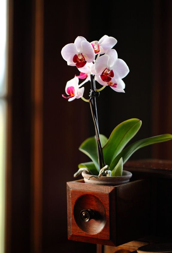 17 Best Images About Mini Orchid Photos On Pinterest