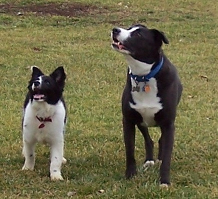 My dog, Rocky and Little Joe when he was just a pup. Waiting for the ball to be thrown!! I love this picture of them. What a pose!
