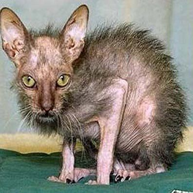 amazing weird crazy things in pics | This is the world's ugliest cat....I wonder why?