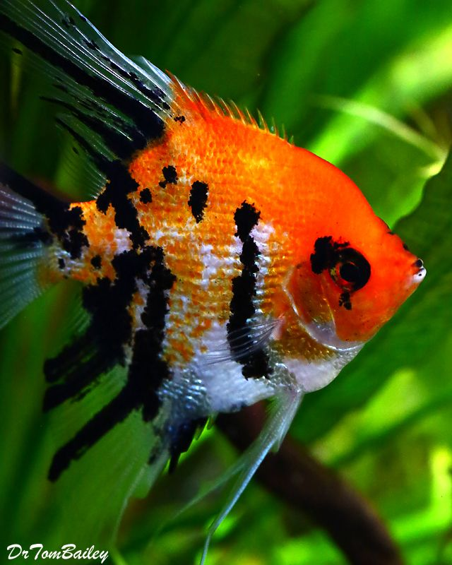 Premium Pearlscale Koi Angelfish 2 To 2 5 Tall Aquarium Fish Fresh Water Fish Tank Tropical Fish