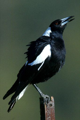 Australian Magpie - this one's singing / warbling. Lovely bird except when it…