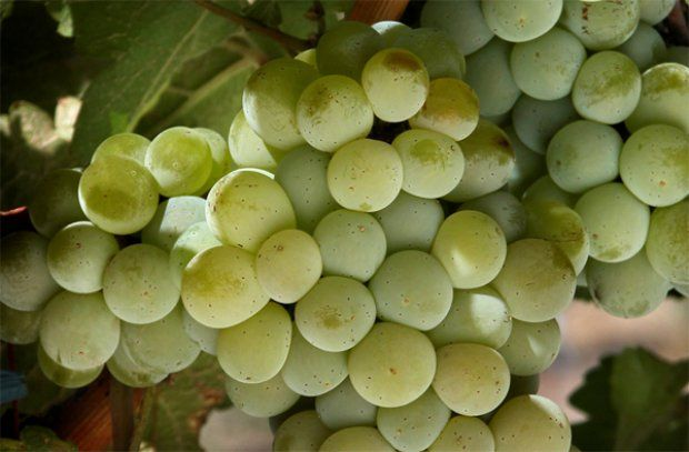 Sauvignon Blanc has a history of growing in Chile, California, South Africa and of course France.