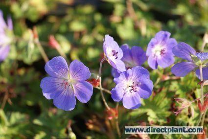 Ooievaarsbek (Geranium 'Rozanne') Geranium 'Rozanne' is de langst bloeiende blauwe Geranium, nieuw soort! Hoogte: 40 cm.Terugsnoeien tot 20 cm Zon/Half Schaduw Bodem dekkend Aantal per vierkante meter 7 Bloeitijd: mei, juni, juli, aug, sep, okt, nov Bloeikleur: blauw