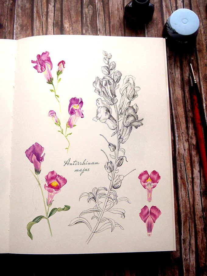 Antirrhinum majus - Gura leului -sketch in pen, ink and watercolour by Alina Drăguceanu