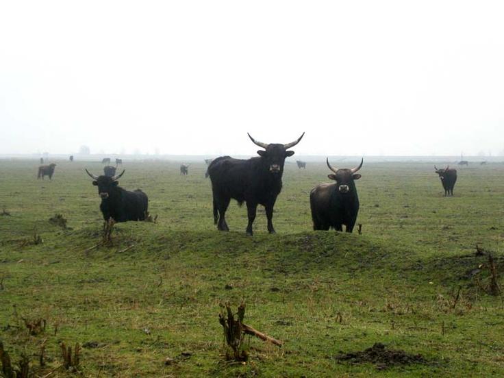 Oostvaardersplassen. Heck cattle