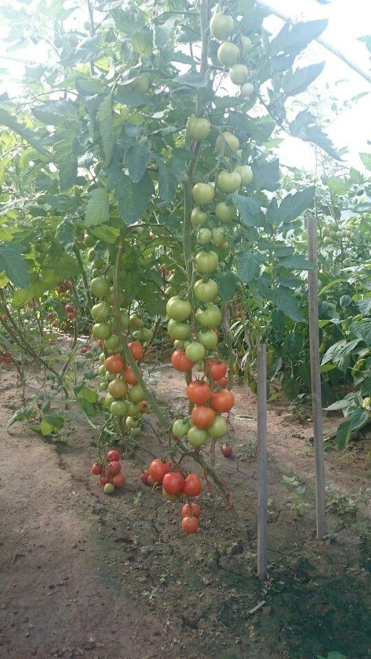 Moja záhrada, už po zbere 4.júla