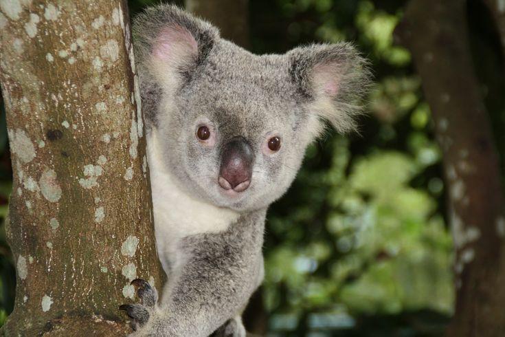 Sevimli hayvan Koalanın İlginç özelliklerini sizler için derledik.  #koala #hayvanlar #ilginc #bilgi