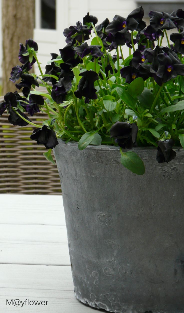 black violets in concrete