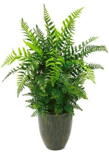 Houseplants safe for cats: Boston Fern