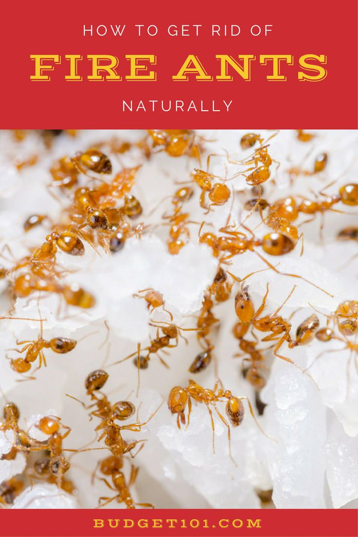 Kill Fire Ants Naturally using their own instincts against them- Budget101.com