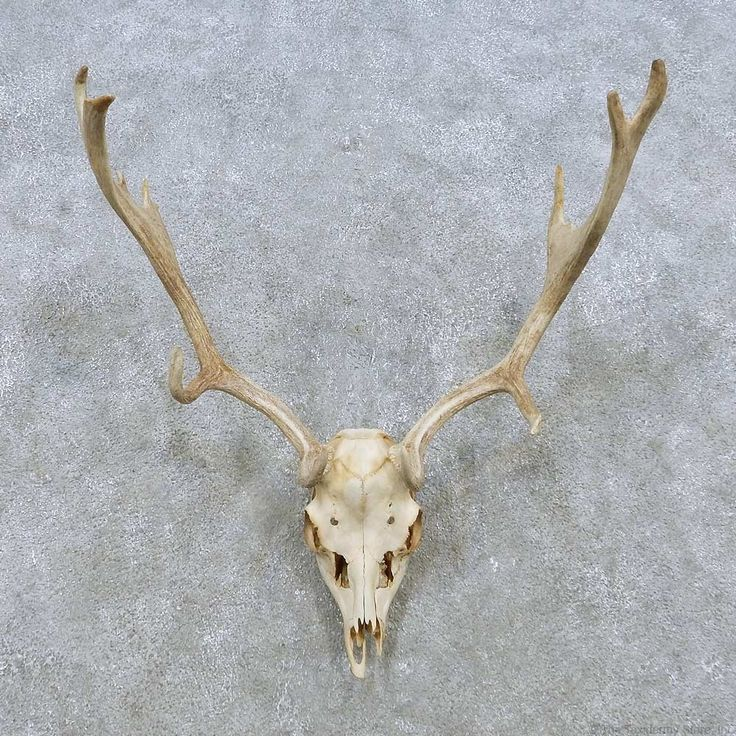 Deer Skull & Horn European Mount For Sale #15150 @ The Taxidermy Store ...
