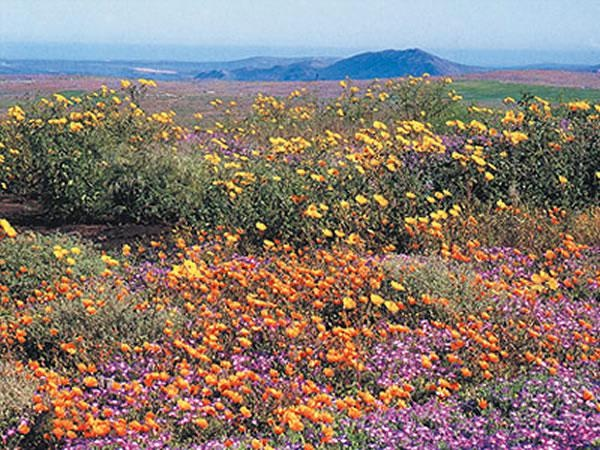Namaqualand  wildflowers in South Africa.