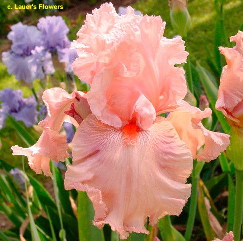 tall bearded iris 'that's hot'