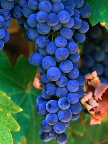 Grapes, Barossa Valley, Australia - grape clusters make me think of the lucious wine to come!!!