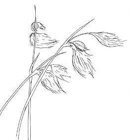 Bog Cotton (Eriophorum species)
