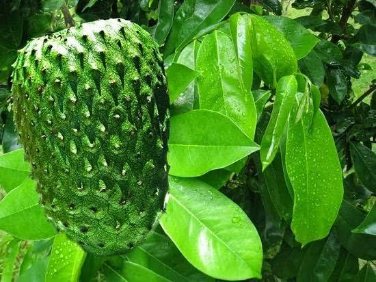 Você tem um pé de graviola(Annona muricata)no quintal ou no sítio/chácara?