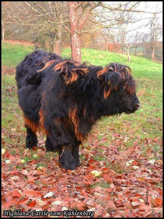 the rare campfire variety of highland cow.