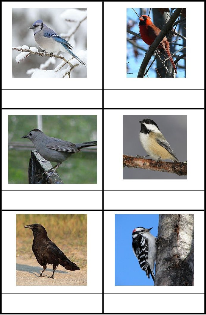 Bird Identification Cards: Blue Jay, Cardinal, Catbird, Chickadee, Crow, Downy Woodpecker, Goldfinch, Grackle, House Finch, Hummingbird, Junco, Nuthatch, Oriole, Robin, Wren, Mallard Duck, Chipping Sparrow, Red-winged Blackbird, Cowbird, Mourning Dove, Peregrin Falcon, Snowy Egret, Canada Goose, Bald Eagle, Goshawk