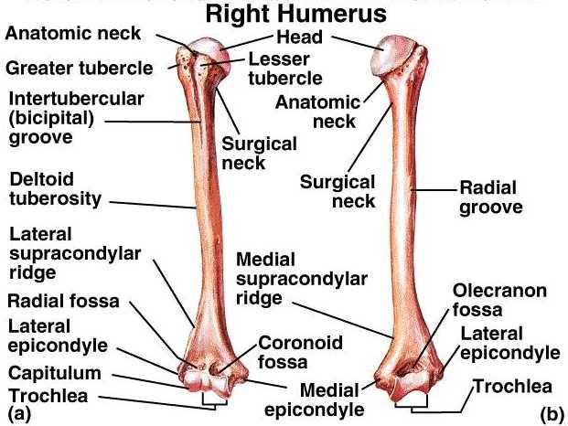 The humerus  is a long bone in the arm or forelimb that runs from the shoulder to the elbow. Anatomically, in modern humans, it connects the scapula and the lower arm (consisting of the radius and ulna), and consists of three sections. The upper extremity consists of a rounded head, a narrow neck, and two short processes (tubercles, sometimes called tuberosities.) Its body is cylindrical in its upper portion, and more prismatic below. The lower extremity consists…