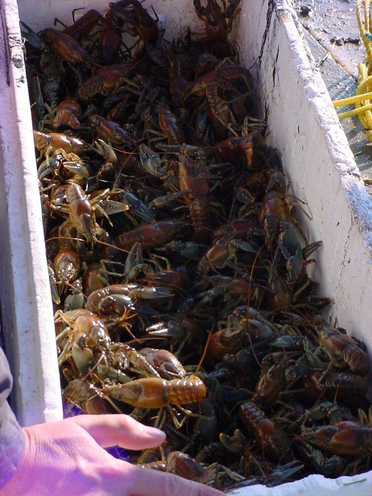 Crayfish trap crawfish trap thumb20 fishing pinterest for Fishing with crawfish