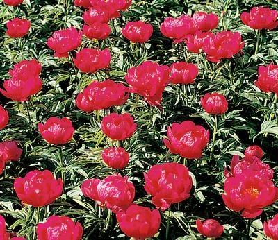 Klehm's Song Sparrow Farm and Nursery--PEONY--'Ruby Slippers'