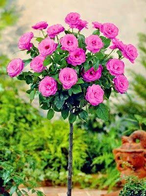 Stunning nature: French rose tree