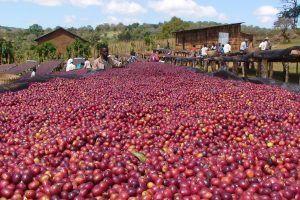 perubahan iklim dan kopi