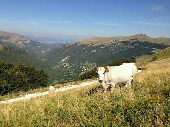 Mucche d'alta quota