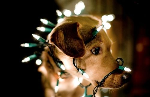 From a pup to a pup :) xx: Christmas Cards, Christmas Time, The Holidays, Christmas Lights, Photos Shoots, Holidays Cards, Happy Holidays, Christmas Photos, Xmas Cards