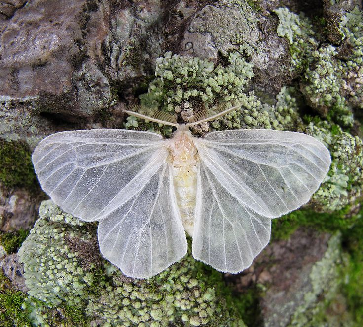 butterfly-white-frost - Once Wed