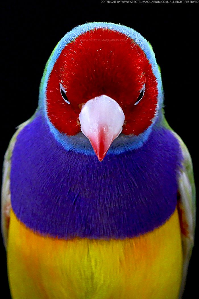 Gouldian finch, critically endangered in the wild.: Love Moments, Skin Care, Colors Diamonds, Rainbows, Beautiful Birds, Gouldian Finch, Ave, Animal, Snow White