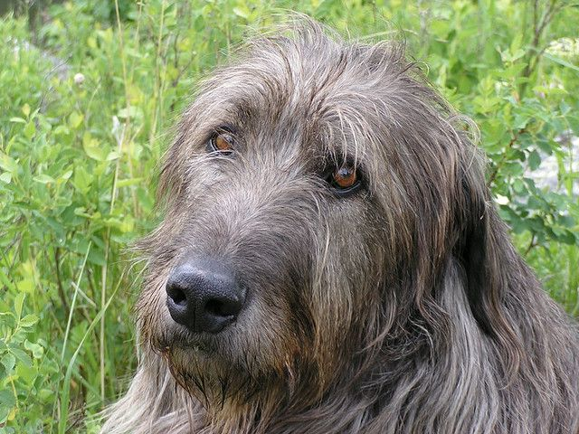 226 best images about Irish Wolfhounds on Pinterest ...