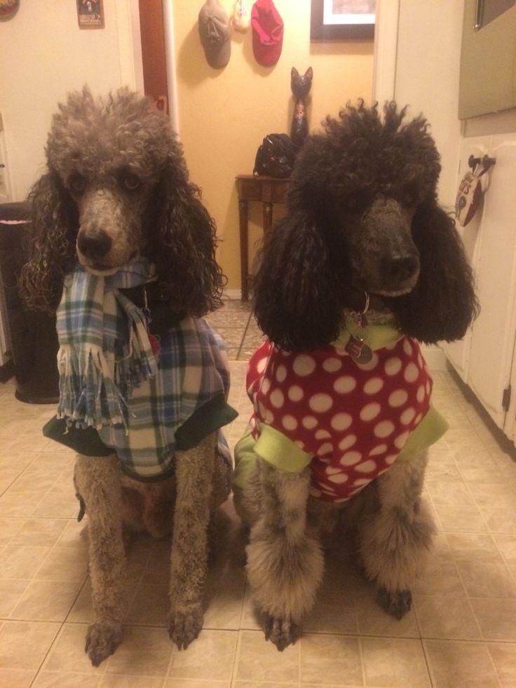 Standard Poodle Clothes