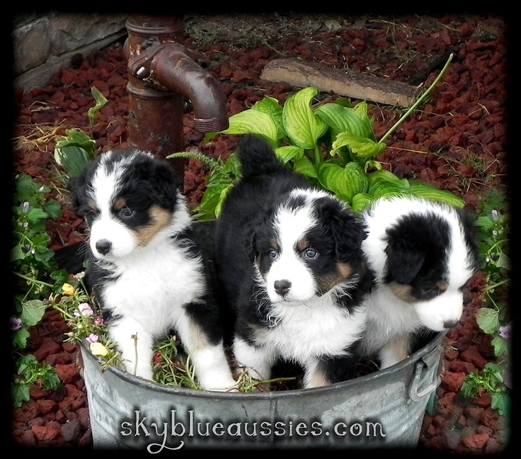 Black Tri Australian Shepherd Puppies! More available soon - www.skyblueaussies.com