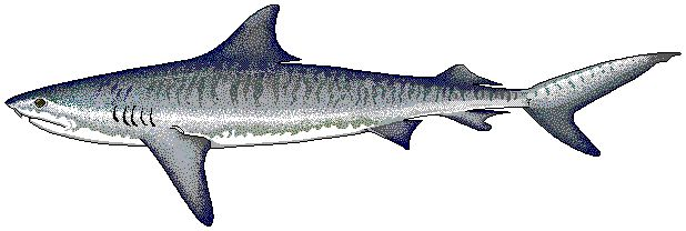 Tiger_shark.png (618×208)