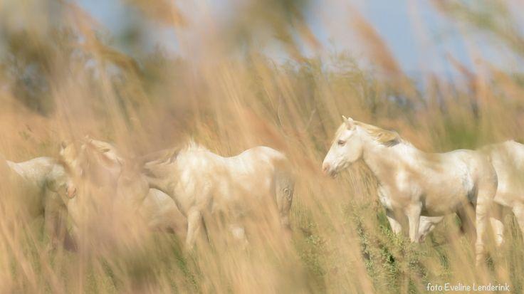 De witte paarden van de Camarque