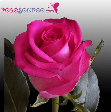 12 best Our Hot Pink Ecuadorian Roses images on Pinterest ...