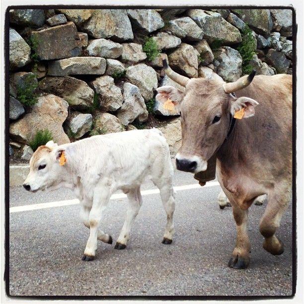 Caminan amb la Mare ❄Walking with mom in #PallarsJussa  #Catalunya #faunapallars