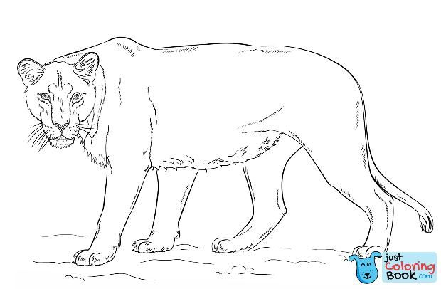 Lioness Coloring Page Teman