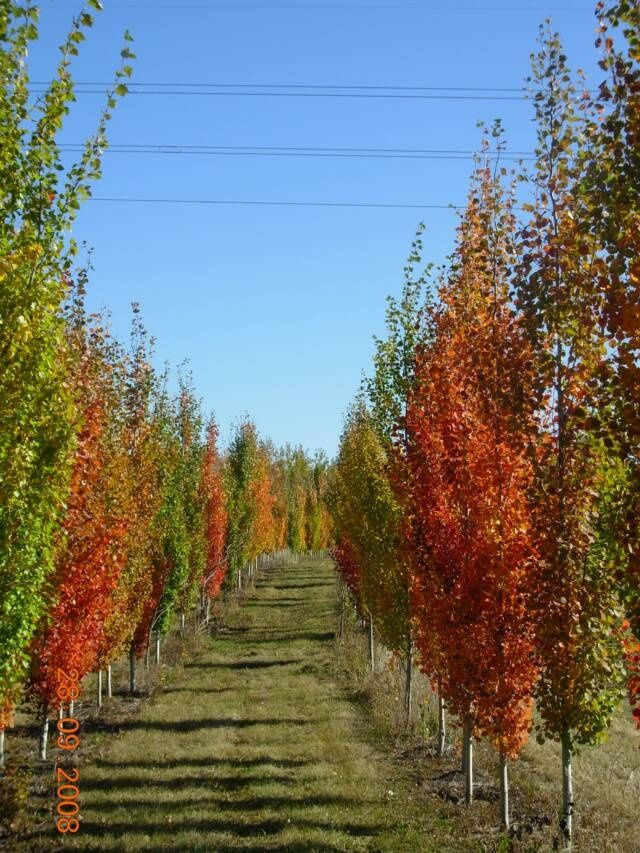 Aspen Swedish Columnar Populus Tremula Fall Colors Landscape Design Plans Bog Garden