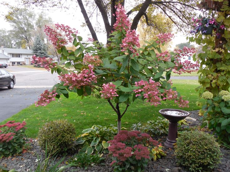 234 best Hortensja. Hydrangea images on Pinterest | Gardens ...