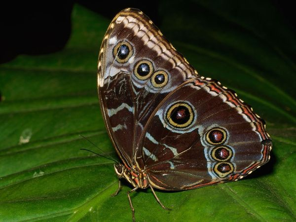 Blue Morpho Butterfly  Photograph by Tim Laman    A decorated blue morpho butterfly (Morpho sp.) rests on a leaf. The blue morpho's entire life cycle lasts just 115 days.