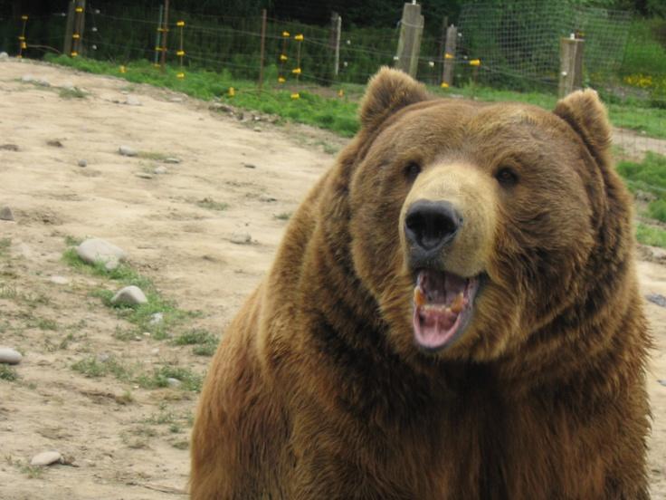 BEAR BEAR BEAR GROAR GROAR GROAR me encantan los osos y me parezco a uno, bye.