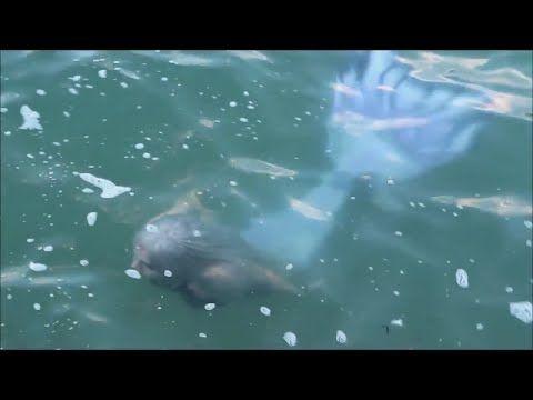 SEA MONSTERS IN LAKE MICHIGAN: Real Live Siren (mermaid ...