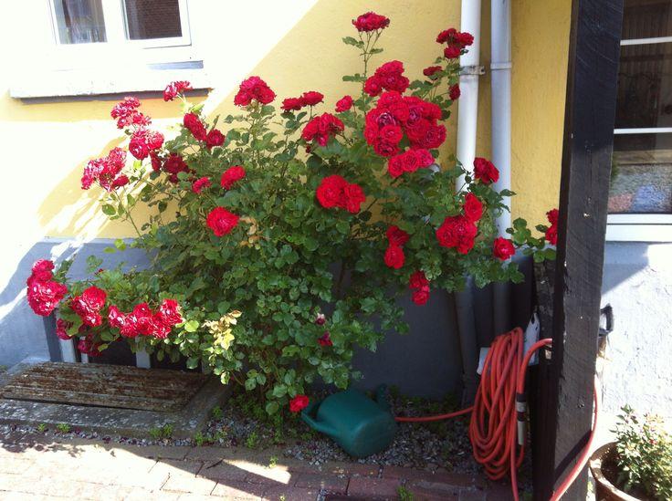 Overdådig rose