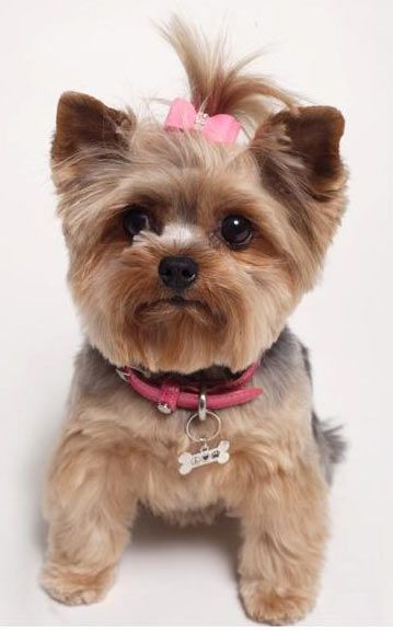 cute yorkie modeling a designer dog collar for Andrea Levine Design~