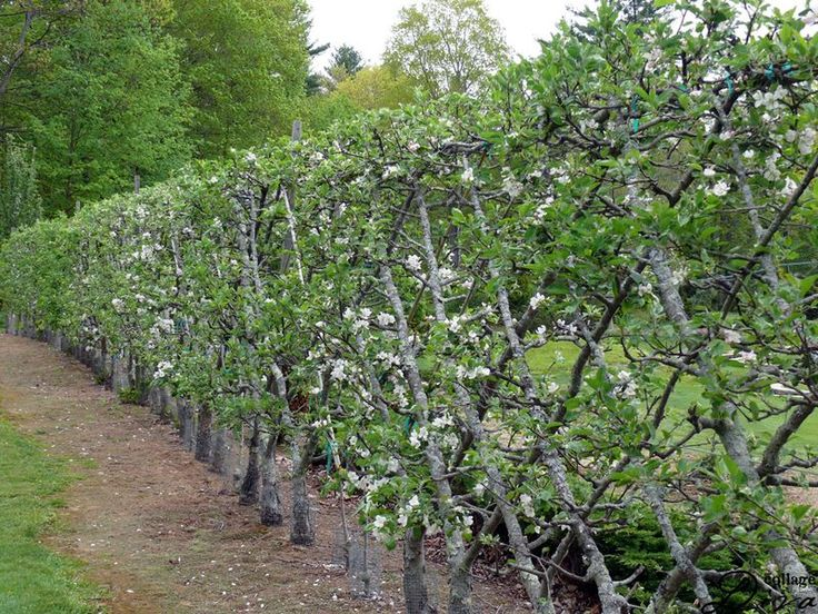 Belgian fence an espalier style for fruiting trees 11 types of apple trees make a 100foot - Protecting fruit trees in winter ...